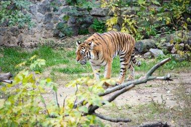 Amur Tigers on a grass