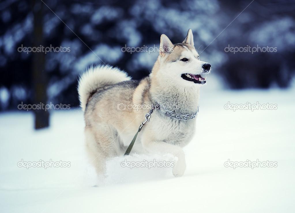 Siberian Husky Dog In Snow Stock Photo C Yulia Zl18 43820031