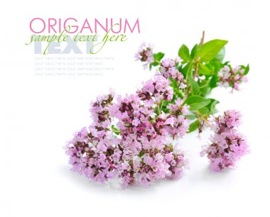 Bunch of fresh oregano (Origanum vulgare) isolated on white back