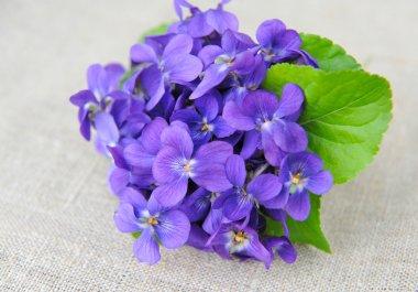 Wood violets flowers (Viola odorata) on sackcloth
