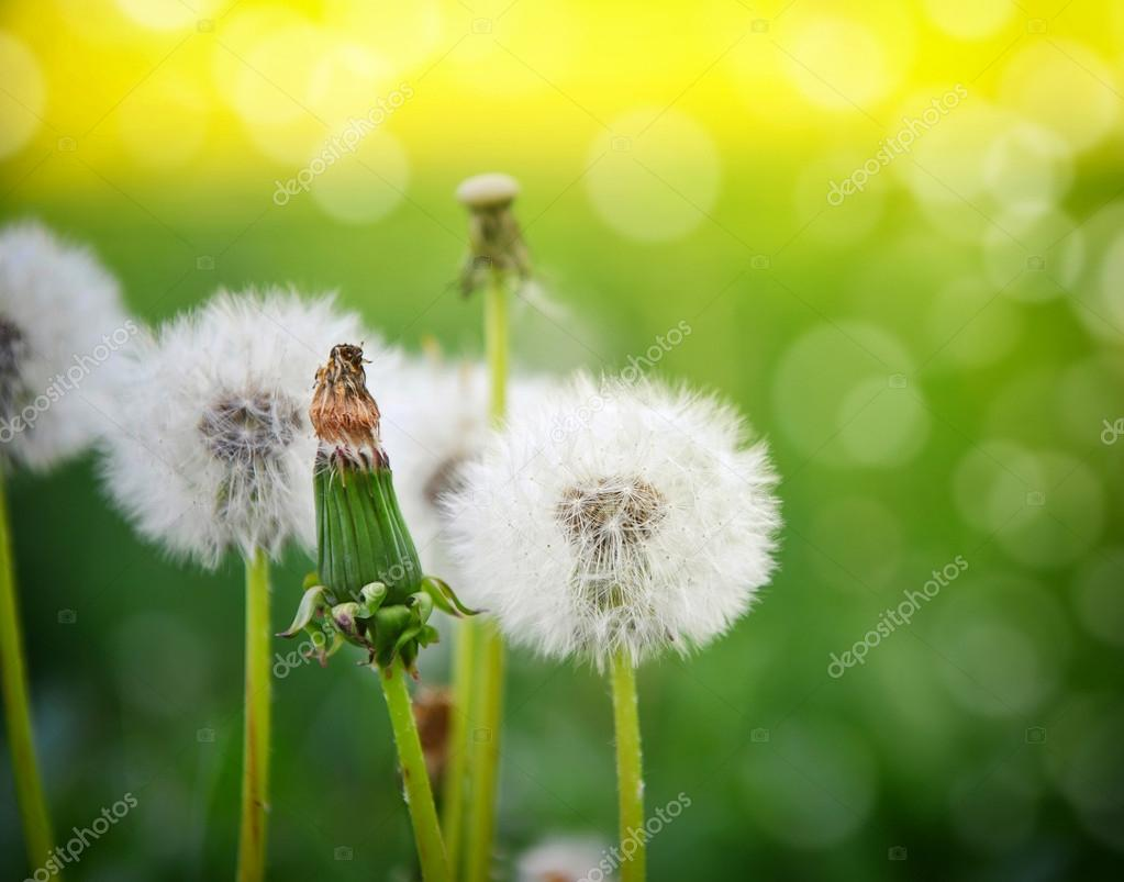 Beautiful white dandelion flowers on natural background
