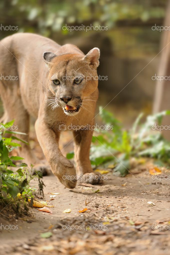 Reife asiatische Pumas