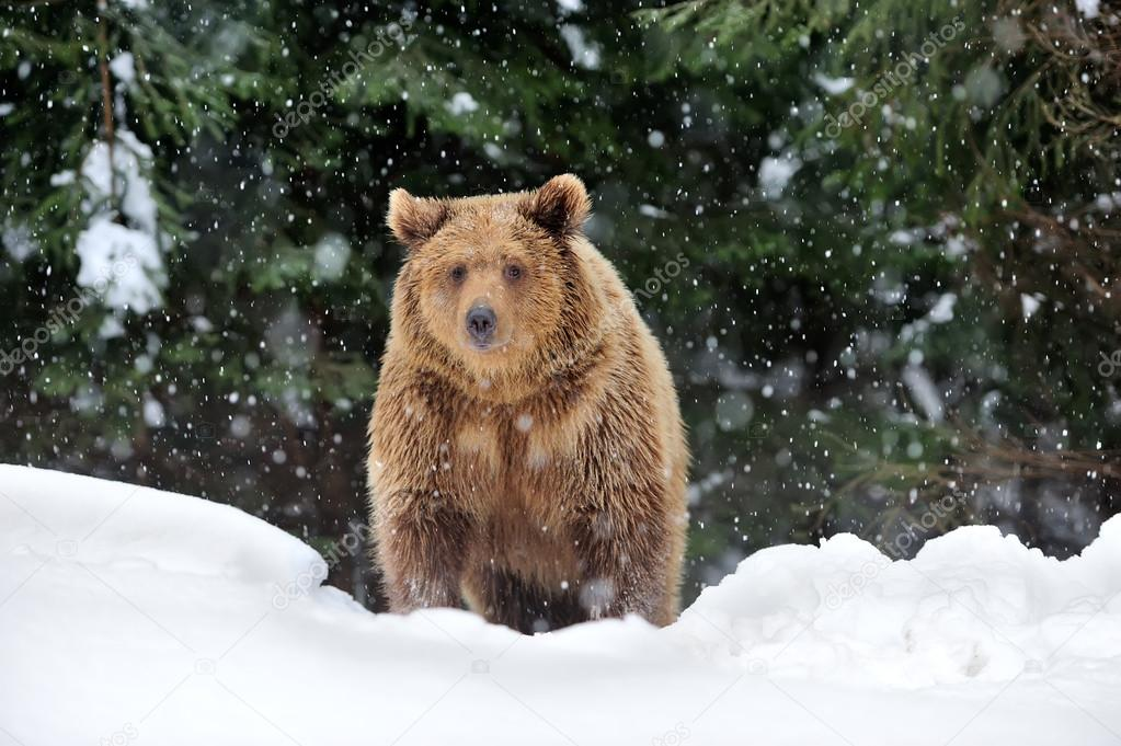 Праздник каждый день - Страница 20 Depositphotos_20692939-stock-photo-bear