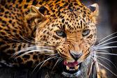 Photo Leopard