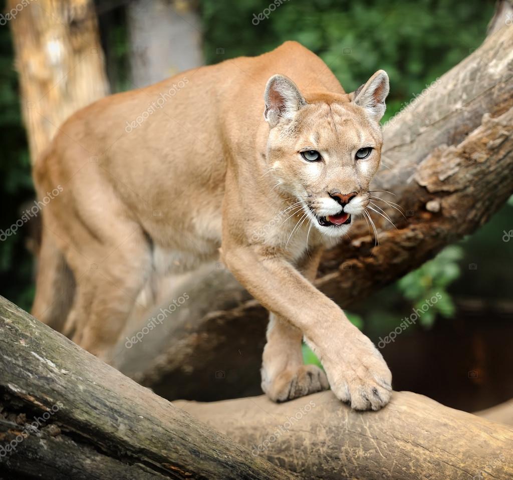 Puma Stock Photo by ©VolodymyrBur 31667831