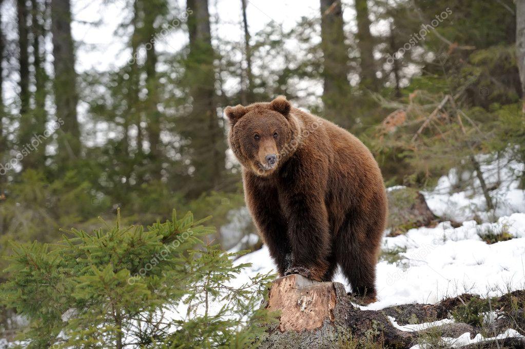bear in winter stock photo volodymyrbur 40176113. Black Bedroom Furniture Sets. Home Design Ideas