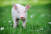 Fotografie Young pig on a green grass