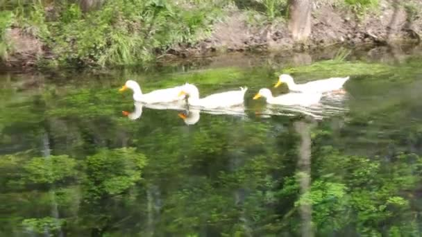 Duck, Duck, Goose. Ducks and goose swimming in water