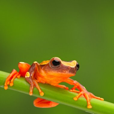 red tree frog climbing