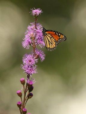 Monarch Butterfly on Meadow Blazingstar