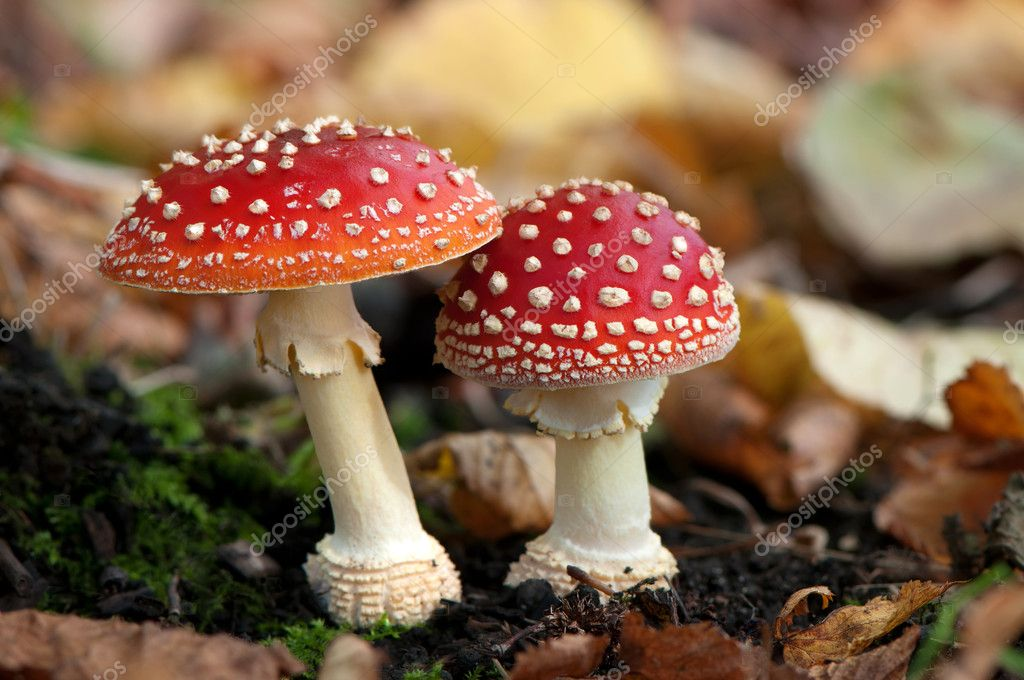 Two spotted toadstools