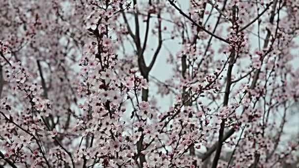 růžový kvetoucí švestka větve