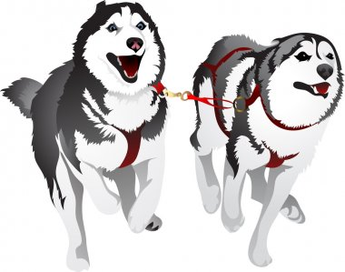 Husky sled race in the sport for speed