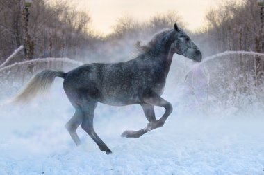 Arabian Horse rides in the winter woods