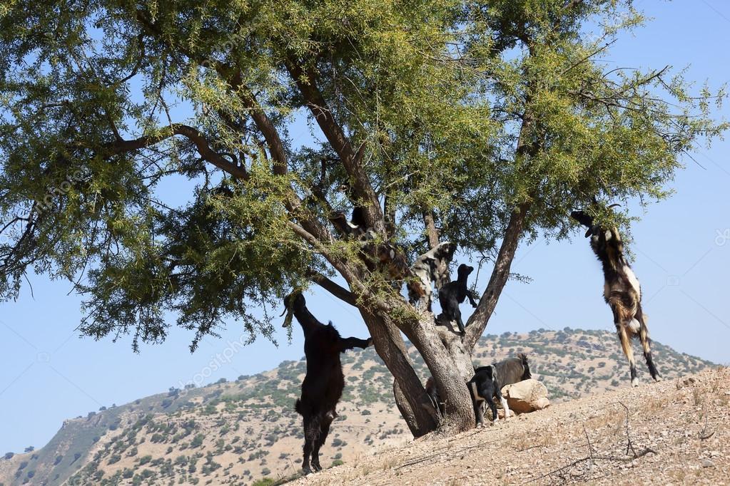 Argan tree (Argania spinosa) with goats.