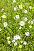 Fotografie daisies