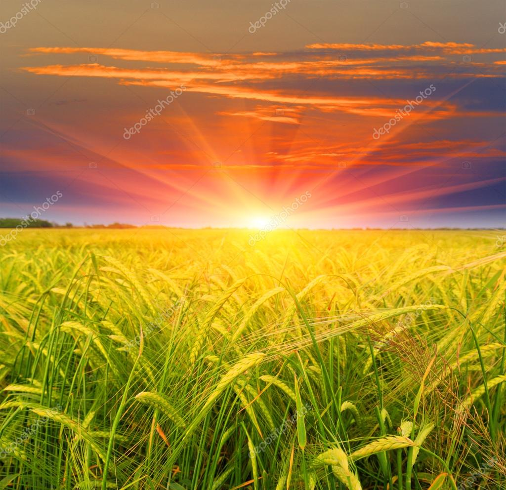 Crop field on sunset