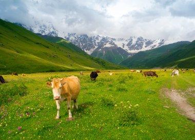 Cows graze in the valley river Enguri in Svaneti
