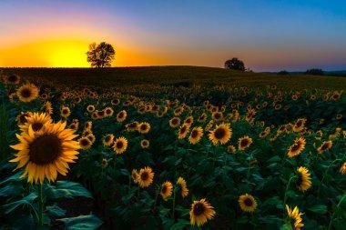 Backlit Sunset Sunflowers