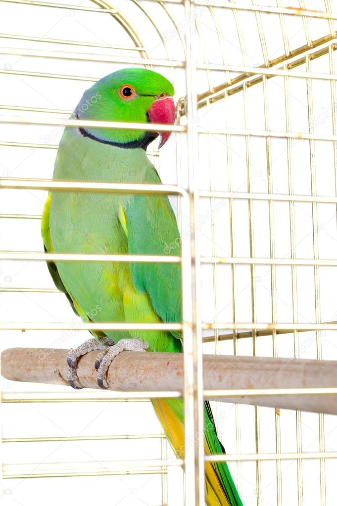 parrot in the cage stock photo lanych 38657933