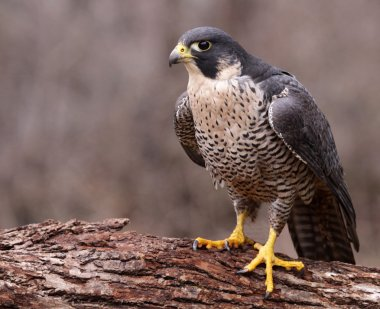 Angry Peregrine Falcon