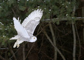 Photo Flying Snowy Owl