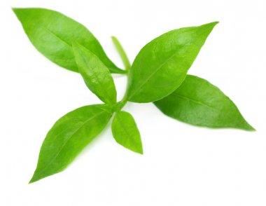 Henna leaves