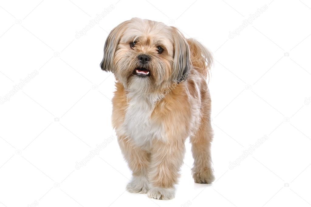 gemengd ras boomer hond — stockfoto © eriklam #12875551