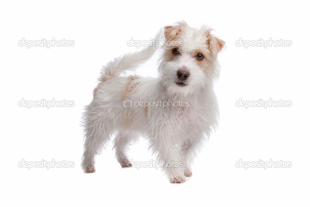 Poil long jack terrier de russel photographie eriklam for Jack russel pelo lungo