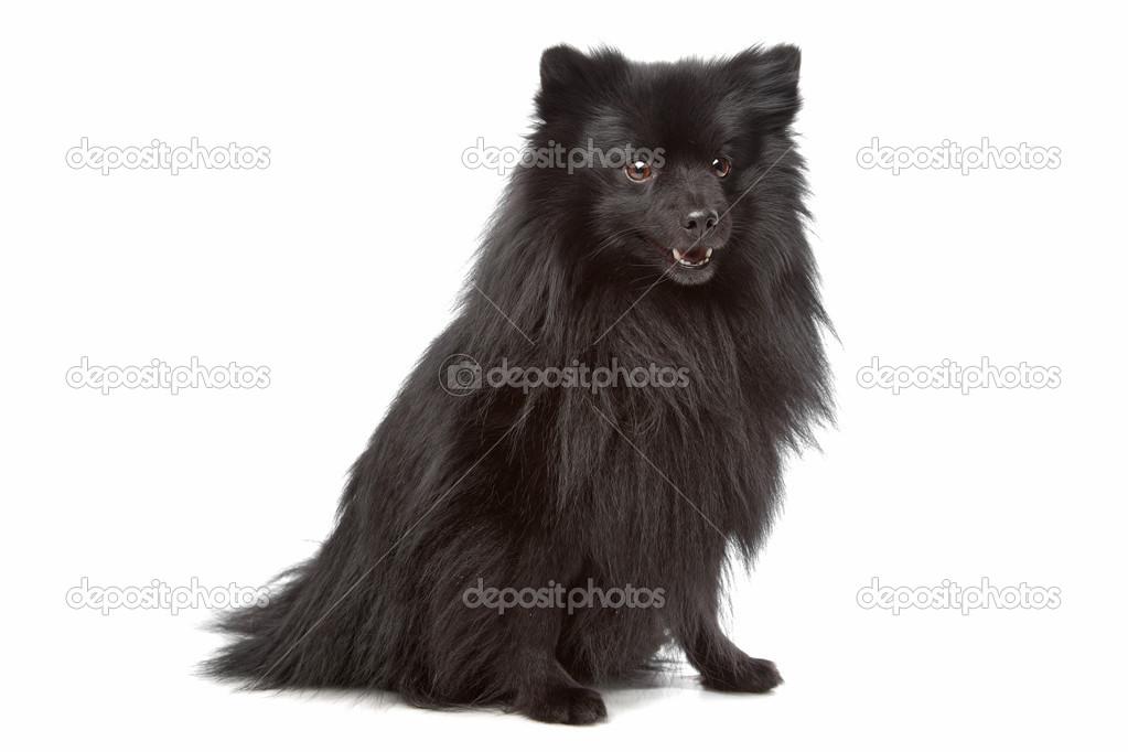 Nieznany Mieszane Rasy Długowłose Małe Czarny Pies Zdjęcie