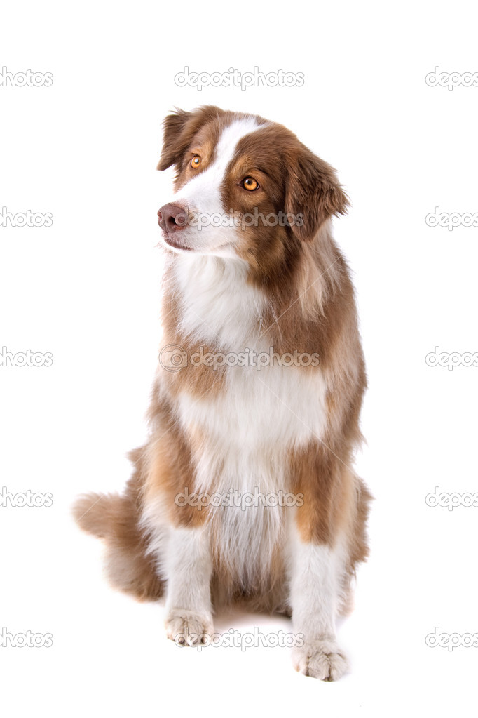 brown and white border collie dog ? stock photo © eriklam #12879173 - Bder Braun