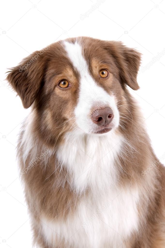 und weiß-border-collie hund ? stockfoto #12879178 - Bder Braun