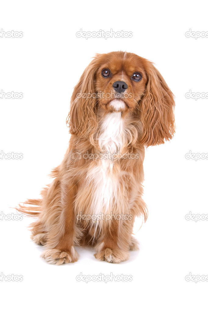 Brown cavalier king charles spaniel stock photo eriklam 12879598 brown cavalier king charles spaniel over white photo by eriklam altavistaventures Images
