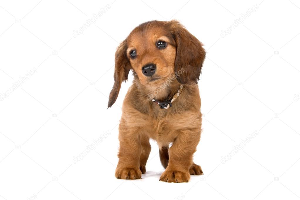 Cute standard dachshund puppy — Stock Photo © eriklam #12880088