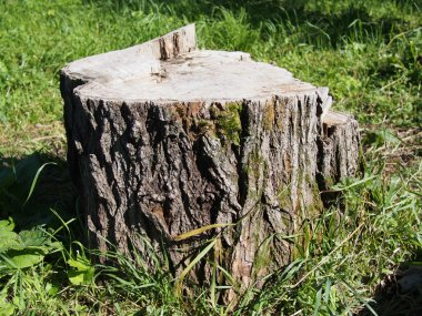 Freshly sawed big fir tree stump in spring forest