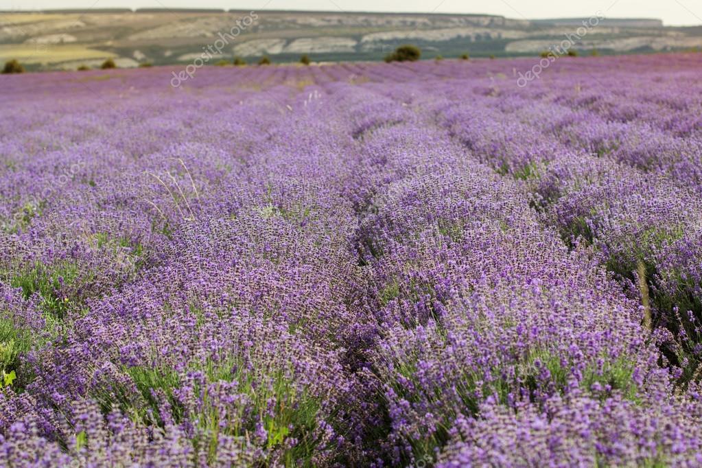 Purple field of lavender flowers