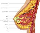 anatomie prsu. vektor