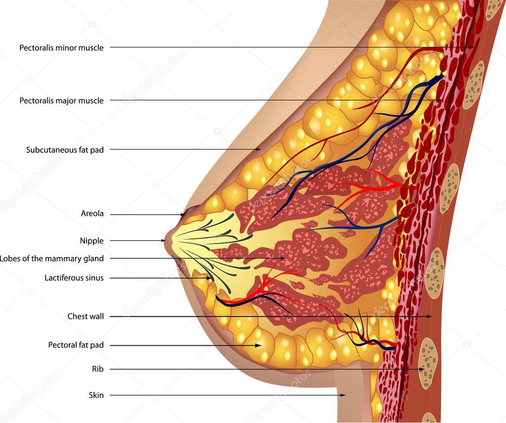 Anatomía de la mama. Vector — Archivo Imágenes Vectoriales © emaria ...