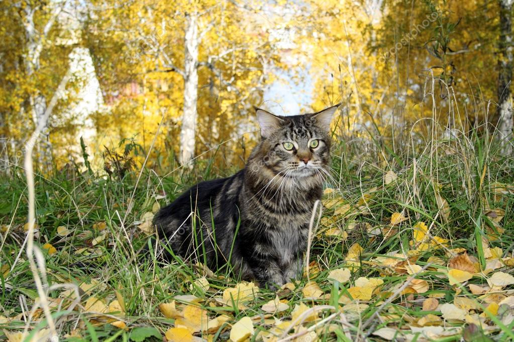 Maine coon cat in the forest in autumn