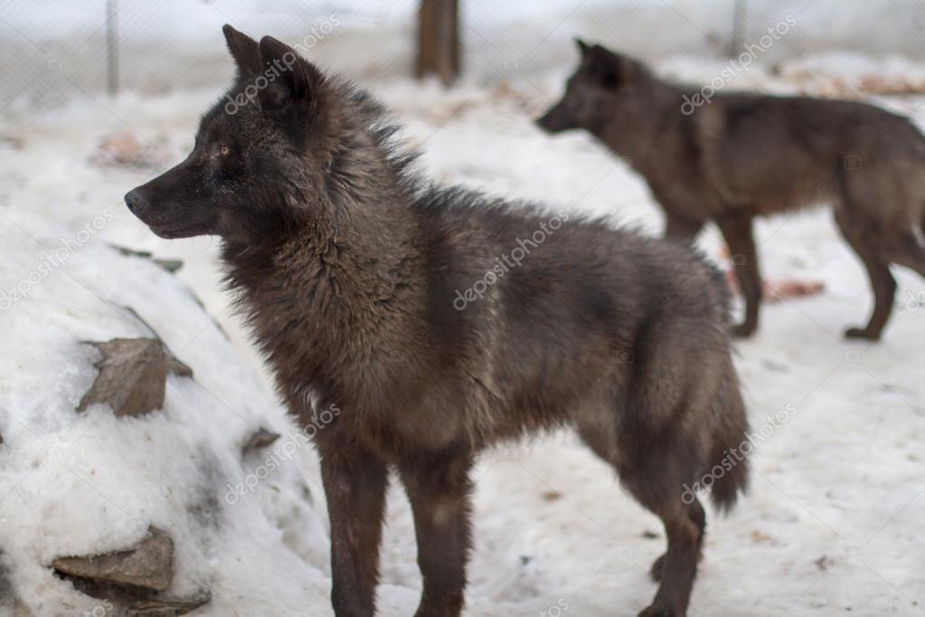 Wolfs on snow in winter