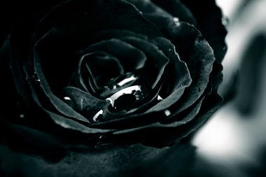 Close up of black rose with drop