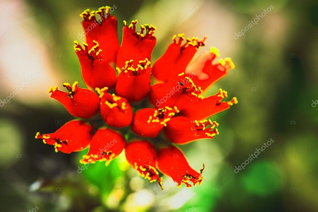 Beautiful light red flowers of cactus