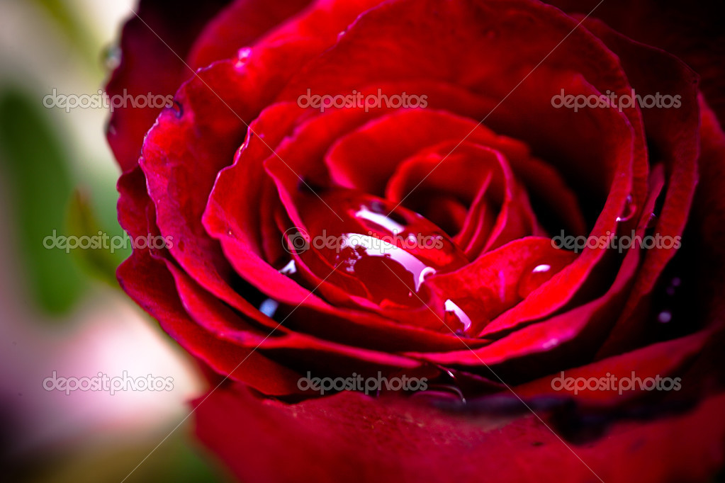 Close up of red rose with drop