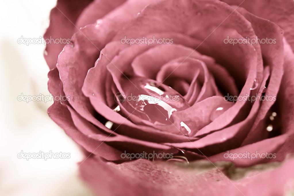 Close up of pink rose with drop