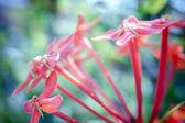 makro snímek malé růžové květy