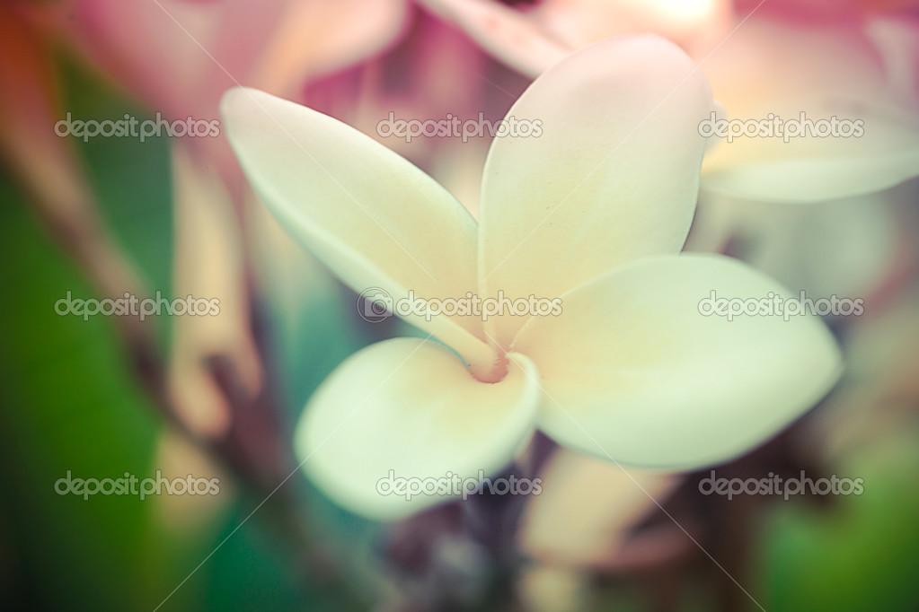 Tropical White Flower Frangipani Plumeria Stockfoto Emaria