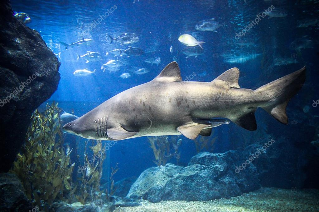 Shark with fish underwater in natural aquarium