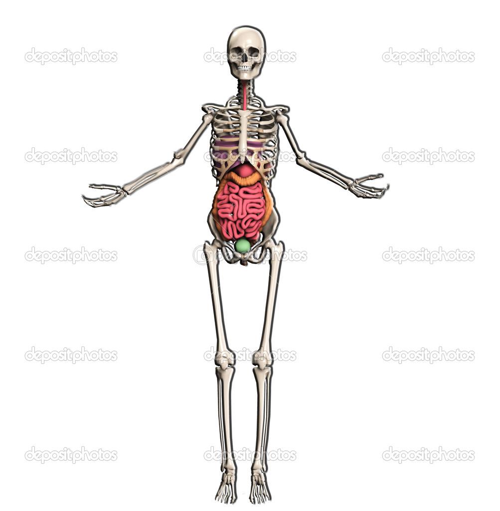 esqueleto con órganos internos — Foto de stock © harveysart #12198312