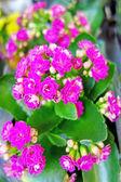 Kalanchoe růžové květy