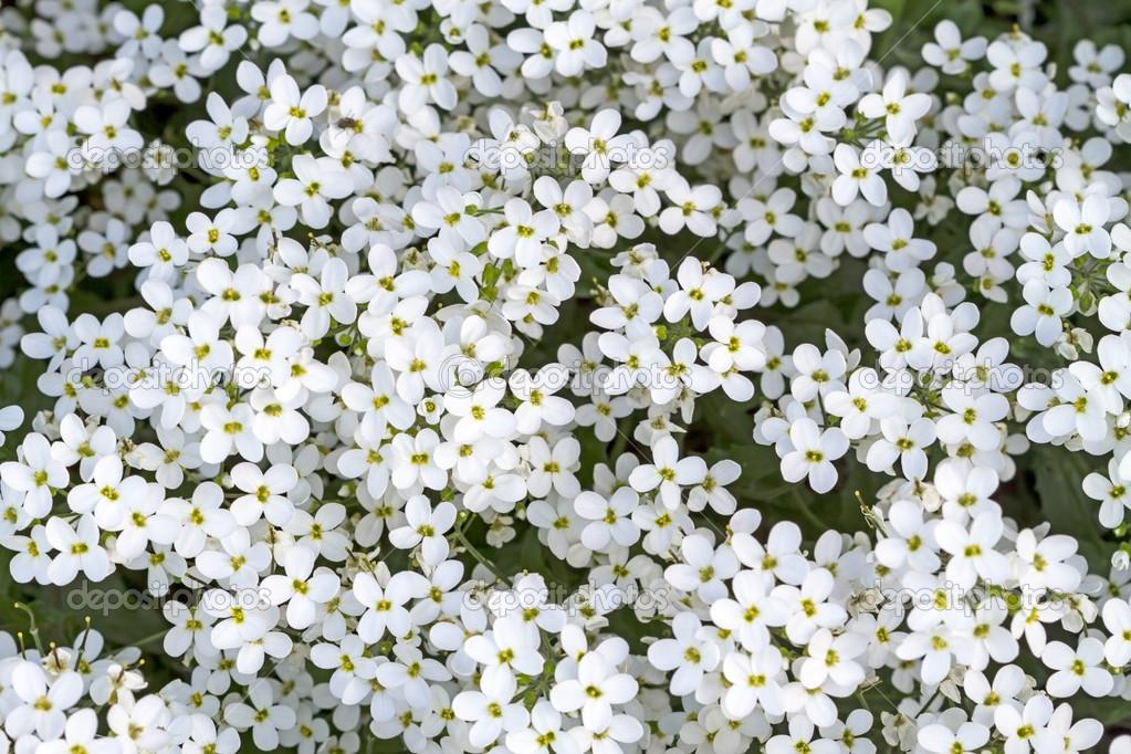 Fondo De Flores Blancas Pequeñas